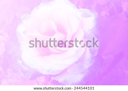 Rose in soft style and blurred fill color filter for background