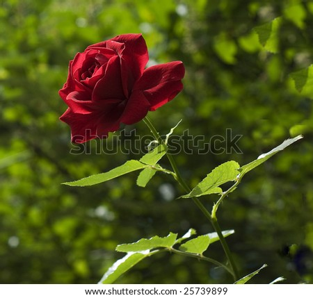 rose in the sun light - stock photo