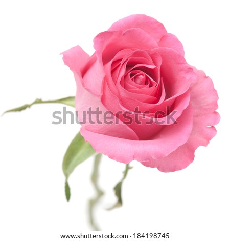 rose in trendu powder pink color, isolated on white