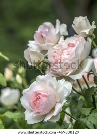 Rose is a woody perennial flowering plant of the genus Rosa, in the family Rosaceae,