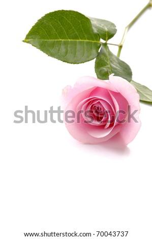 rose isolated - stock photo