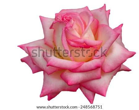 Rose isolated on a white background - stock photo