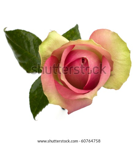 rose isolated on white background close up - stock photo