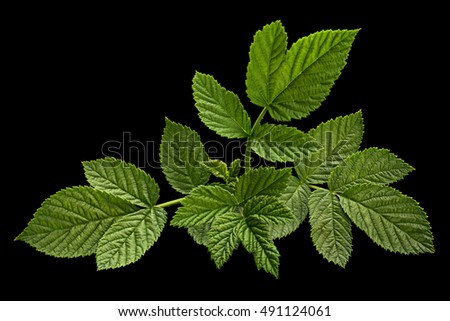 Rose leaf closeup isolated on black background