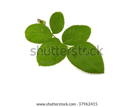 Rose leaf isolated on a white background - stock photo