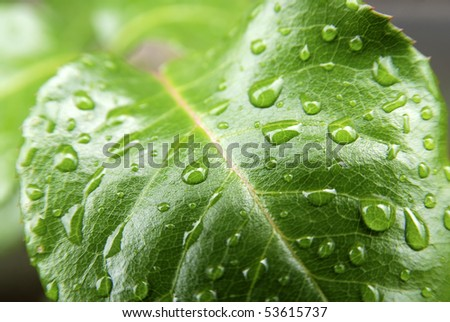 rose leaf macro with water drops - stock photo