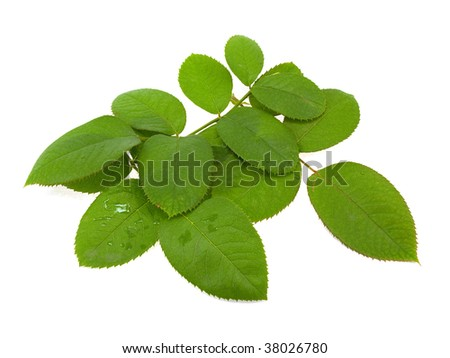 Rose leaves isolated on a white background - stock photo