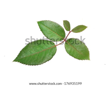 rose leaves isolated on white background - stock photo