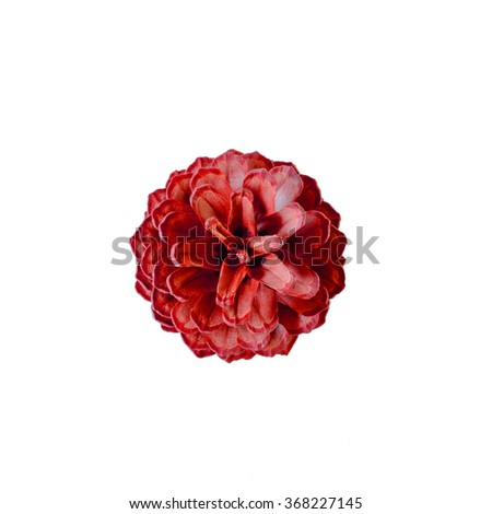 Rose like, Blooming red pine cones, isolated, white background