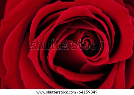 Rose Macro - stock photo