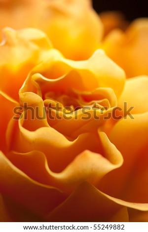 rose macro shot, yellow - stock photo