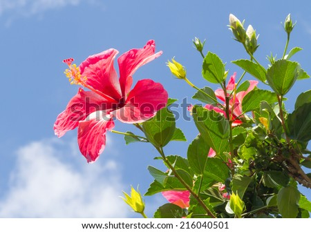 Rose mallow (Hibiscus rosa-sinensis) is a species of flowering plant in the family Malvaceae, native to East Asia.  - stock photo