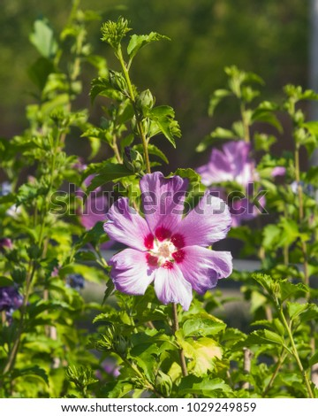 Tree mallow stock images royalty free images vectors shutterstock rose mallow or syrian ketmia hibiscus syriacus flower close up with bokeh background ccuart Image collections