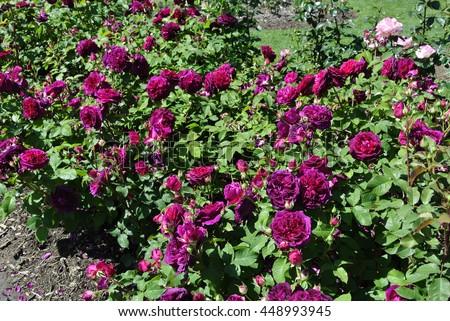 english rose garden stock images royalty free images. Black Bedroom Furniture Sets. Home Design Ideas
