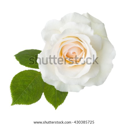 Rose of cream color isolated on white background.