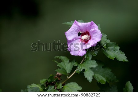 Rose of Sharon plant with bee - stock photo