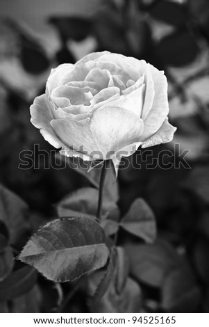 rose opened its branch, making black and white - stock photo
