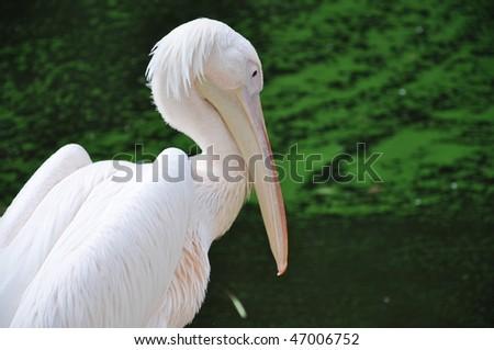 Rose pelican - stock photo