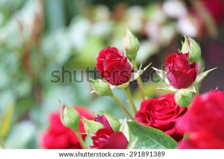 Rose petals close up - stock photo