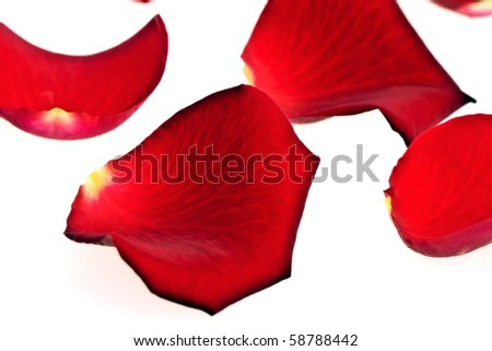 Rose Petals, completely isolated on white background
