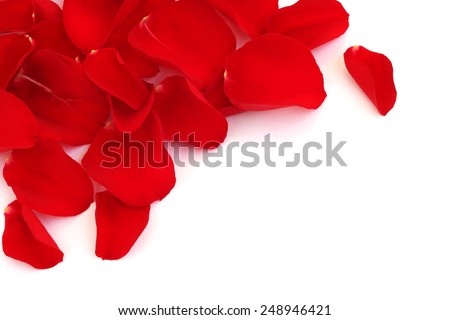 Rose petals isolated on white background with copy space - stock photo
