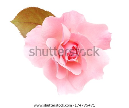 Rose pink - stock photo