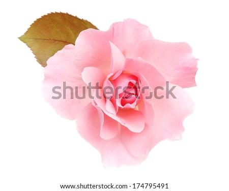 Rose pink - stock photo