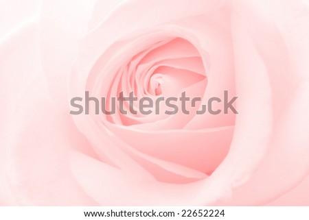 Rose pink background - stock photo