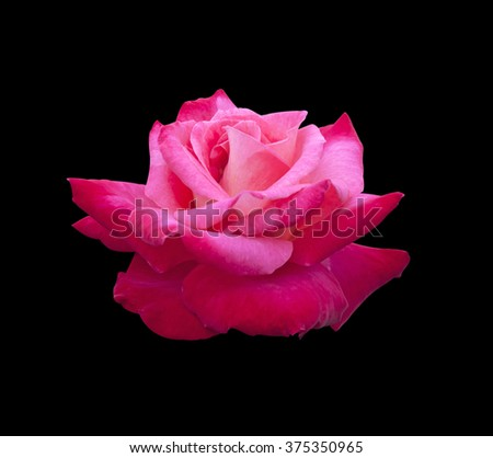 Rose pink flowers isolated on a black background. - stock photo