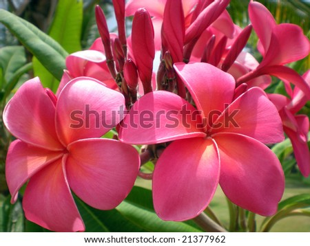 Rose-pink Frangipani close-up. Exotic tropical flower with fragrant scent. Classical image for tropical illustrations. - stock photo