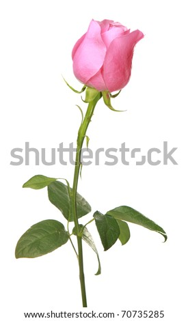 rose pink on a white background - stock photo