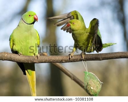 Rose-ringed Parakeet - stock photo