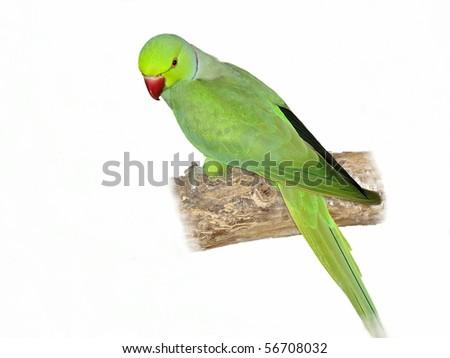 Rose ringed parakeet (Green) Psittacula krameri on branch in front of white background - stock photo