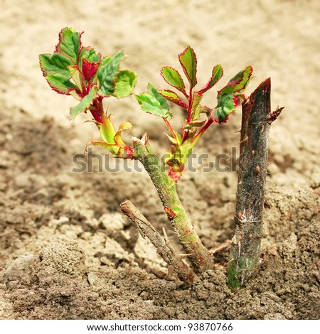 Rose sprouts grow on bushes planted in the spring - stock photo