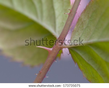 Rose thorn close up macro - stock photo