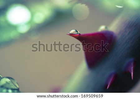 rose thorn with drop macro - stock photo