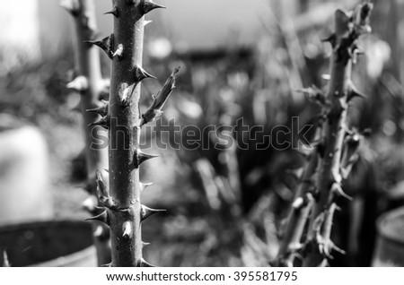 rose thorns - stock photo