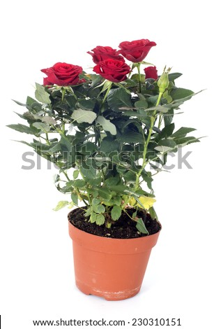 rose tree in front of white background