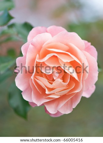 Rose 'Umilo' - stock photo