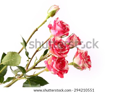 Rose varieties masquerade mother's day flowers in spring tender love isolated white background - stock photo