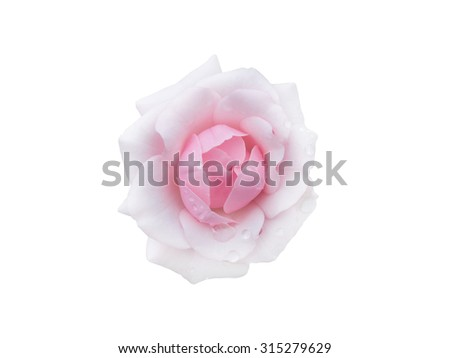 Rose with dew drops isolated on white background