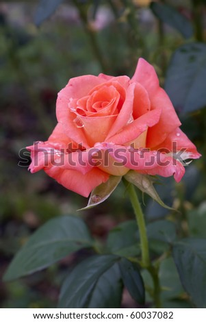 rose with rain drops - stock photo