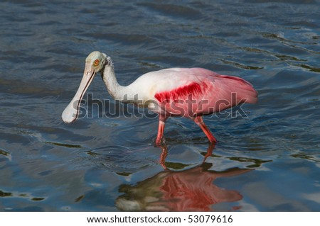 Roseate Spoonbill Ibis - stock photo