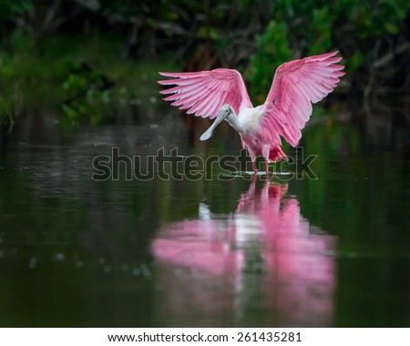 Roseate spoonbill in lagoon about to fly - stock photo