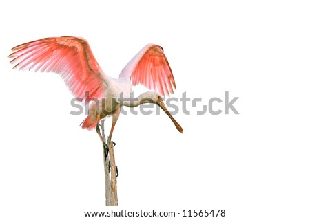 roseate spoonbill landing on perch with wings open and isolated against pale morning sky