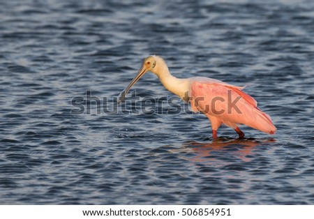 Roseate spoonbill (Platalea ajaja) feeding in the shallow water of tidal marsh at early morning, Galveston, Texas, USA