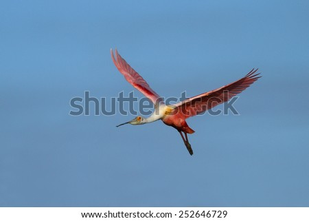Roseate Spoonbill (Platalea ajaja) in flight near the nest