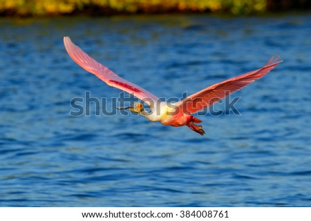 Roseate Spoonbill (Platalea ajaja) in flight near the nest - stock photo