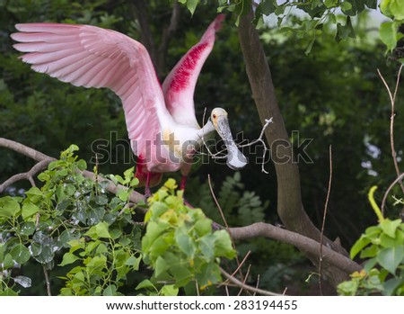 Roseate spoonbill (Platalea ajaja) with a stick for the nest, High Island, Texas, USA. - stock photo