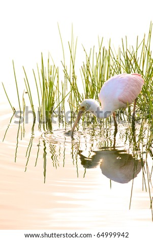 roseate spoonbill sifting through florida pond waters for breakfast at dawn - stock photo